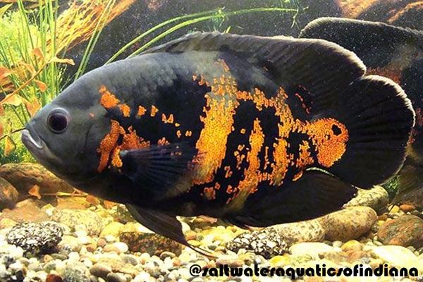 Ikan Oscar Jenis Tiger