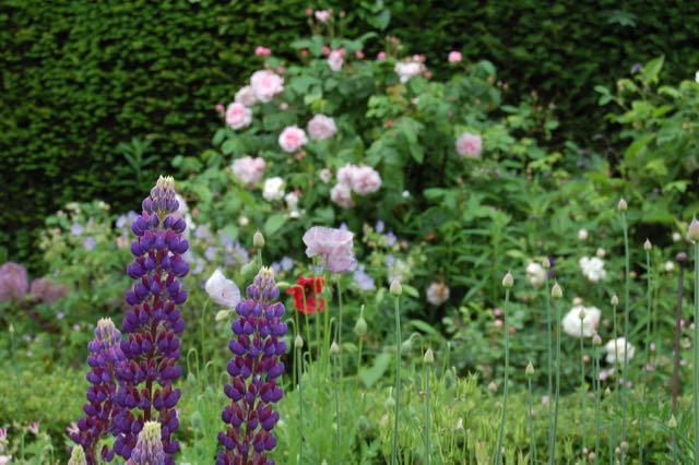 Lupine en rozen.