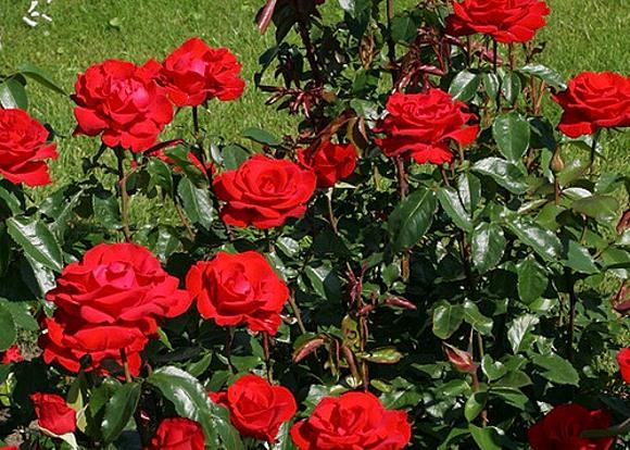 Rebell rose сорт розы фото