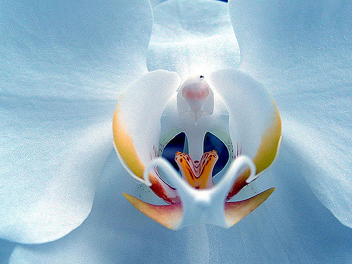 White orchid, Phalaenopsis sp.