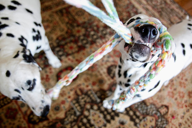 Dalmatian dogs playing with colourful woven fleece Easter dog toy