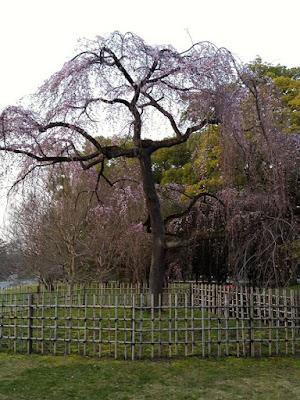 Big Sakura Tree at Kyoto Gyoen National Garden