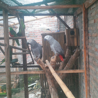 African Grey Parrot Dewasa