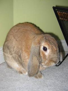 Lop-Eared Bunny.