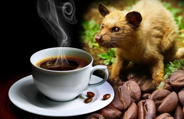 gambar kopi luwak kopi terbaik dan termahal di dunia