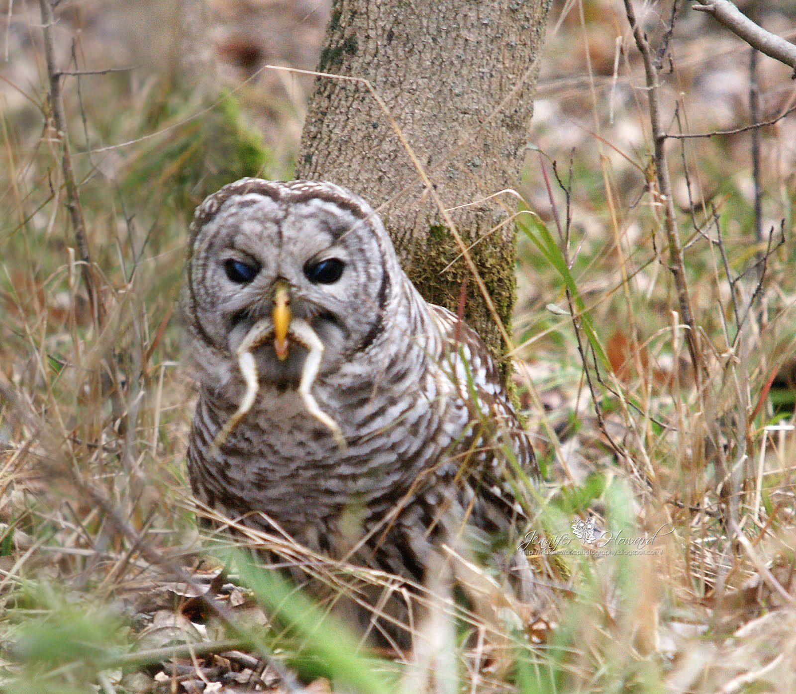Biology of the Barred Owl – Strix Varia |