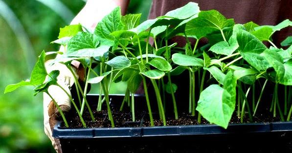 Resultado de imagen de El 93% de las semillas originales han desaparecido