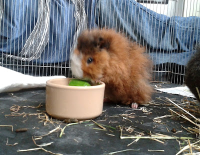 Daisy baby guinea pig eating