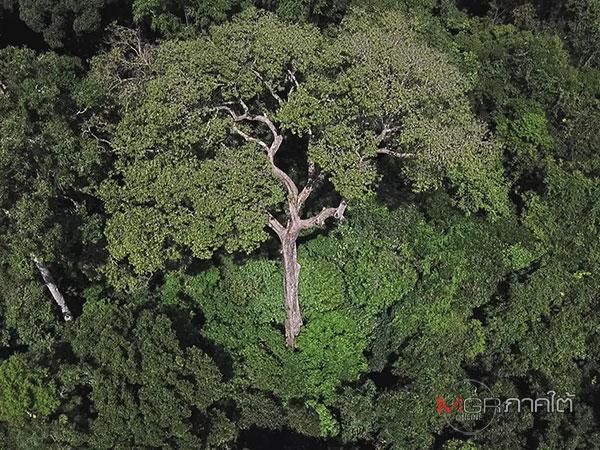 สำรวจต้นท้ายเภายักษ์ จ.ตรัง สูง 60 ม. ใหญ่สุดในเทือกเขาบรรทัด