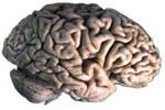 El cerebro y su masa encefálica