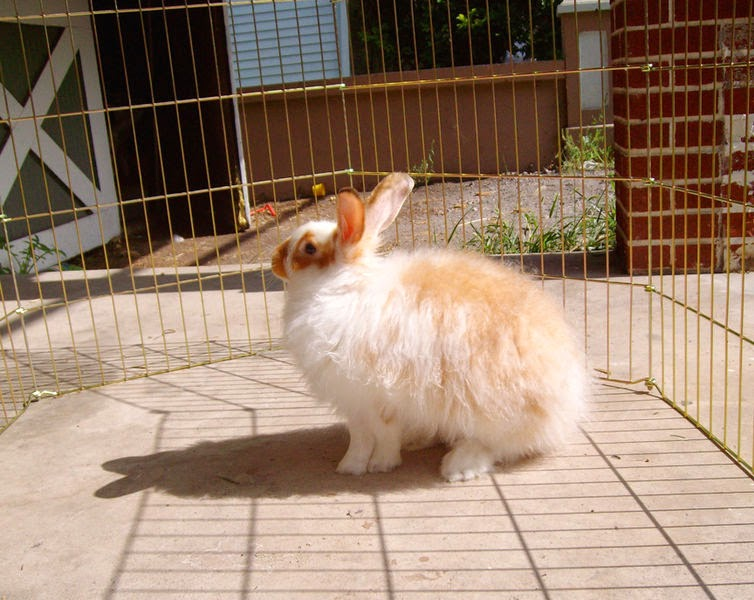 Image of a Broken satin Angora rabbit