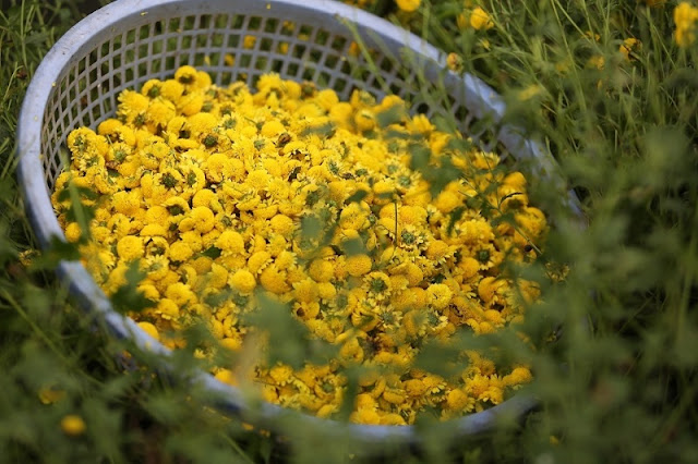 It's all yellow at Vietnamese herb flower gardens 3