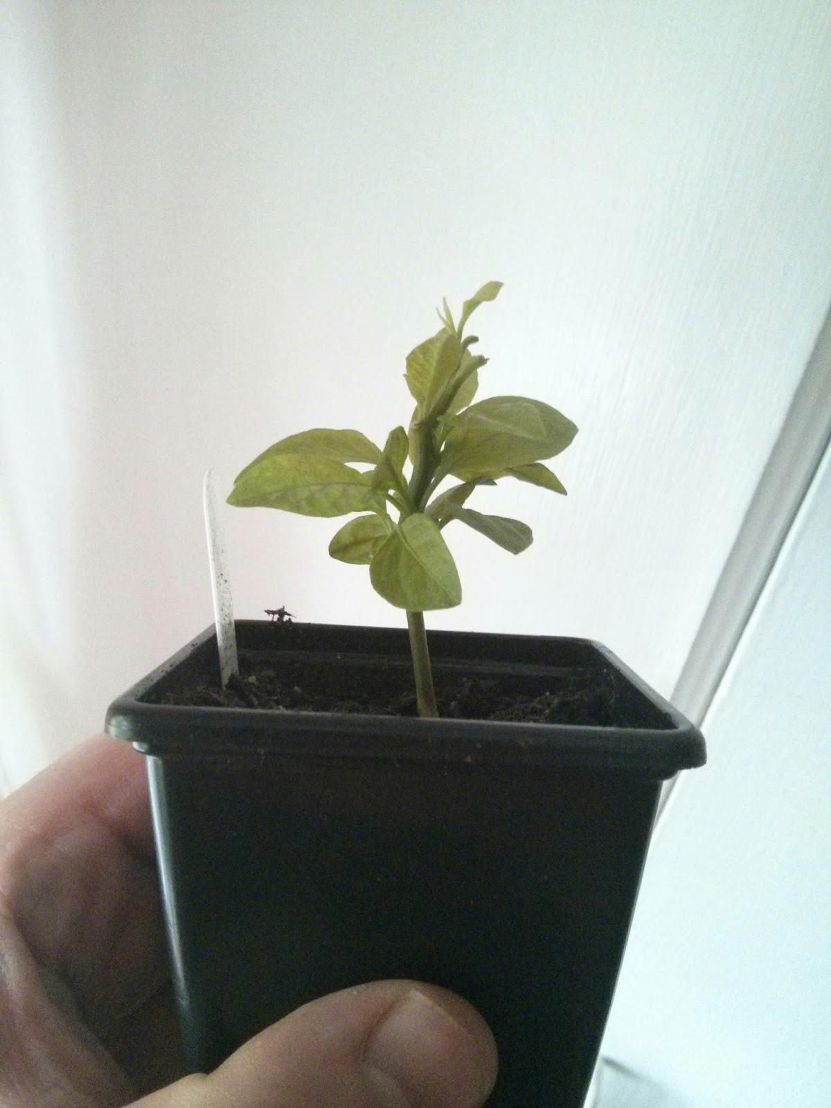 carls veg plot: Chilli & Pepper Experiment TOPPING & PRUNNING