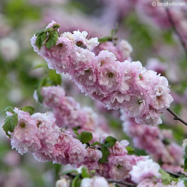 цветущий миндаль фото