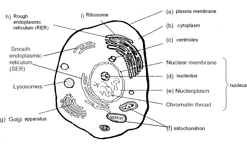 animal cell coloring page answers - poonchengmoh amali poses sains biology pg 12 13