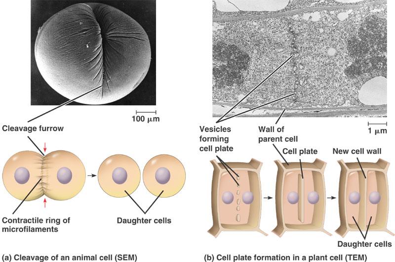 WhatWhatWhat: Perbezaan bahagian kromosom, kitar sel dan ...