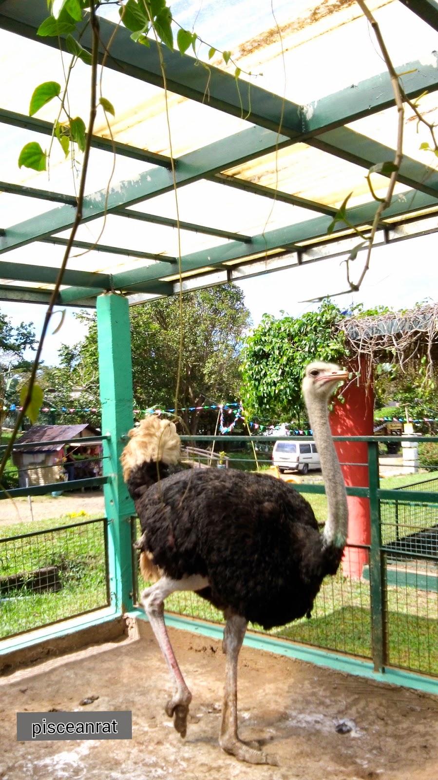 paradizoo, ostrich