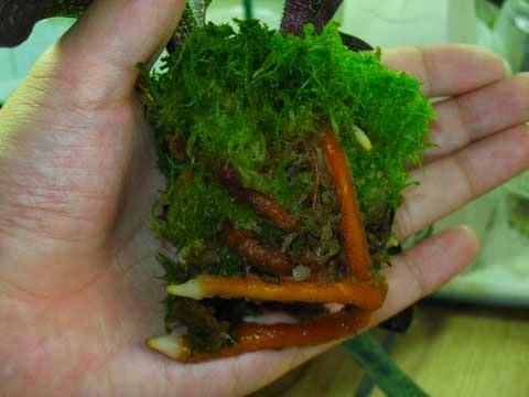 Rêu xanh xuất hiện khắp giá thể