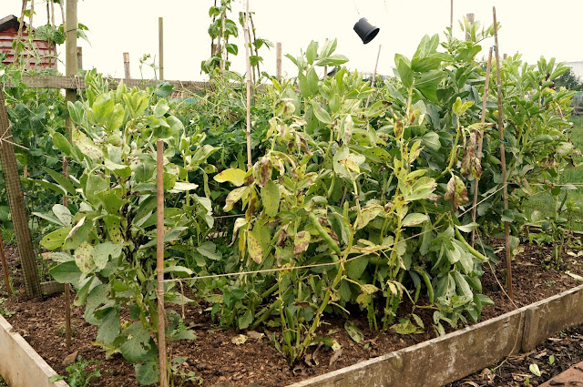 broad beans - 'growourown.blogspot.com' ~ an allotment blog