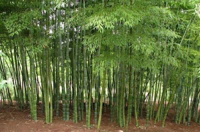 Cara Budidaya Bambu