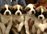 Perros pequeños cachorros