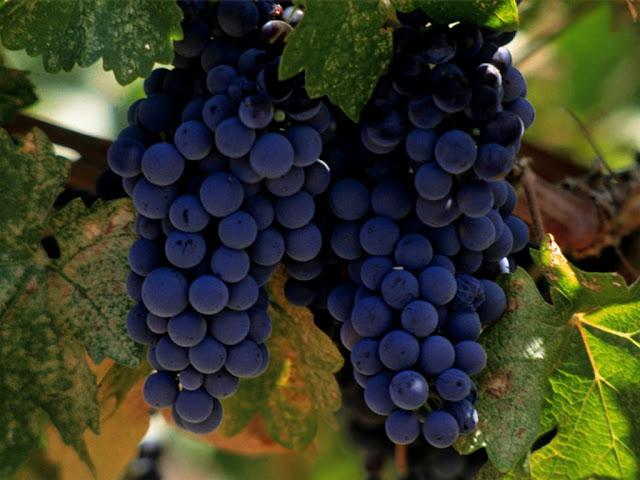 ¿Conoces todas las variedades de uva?