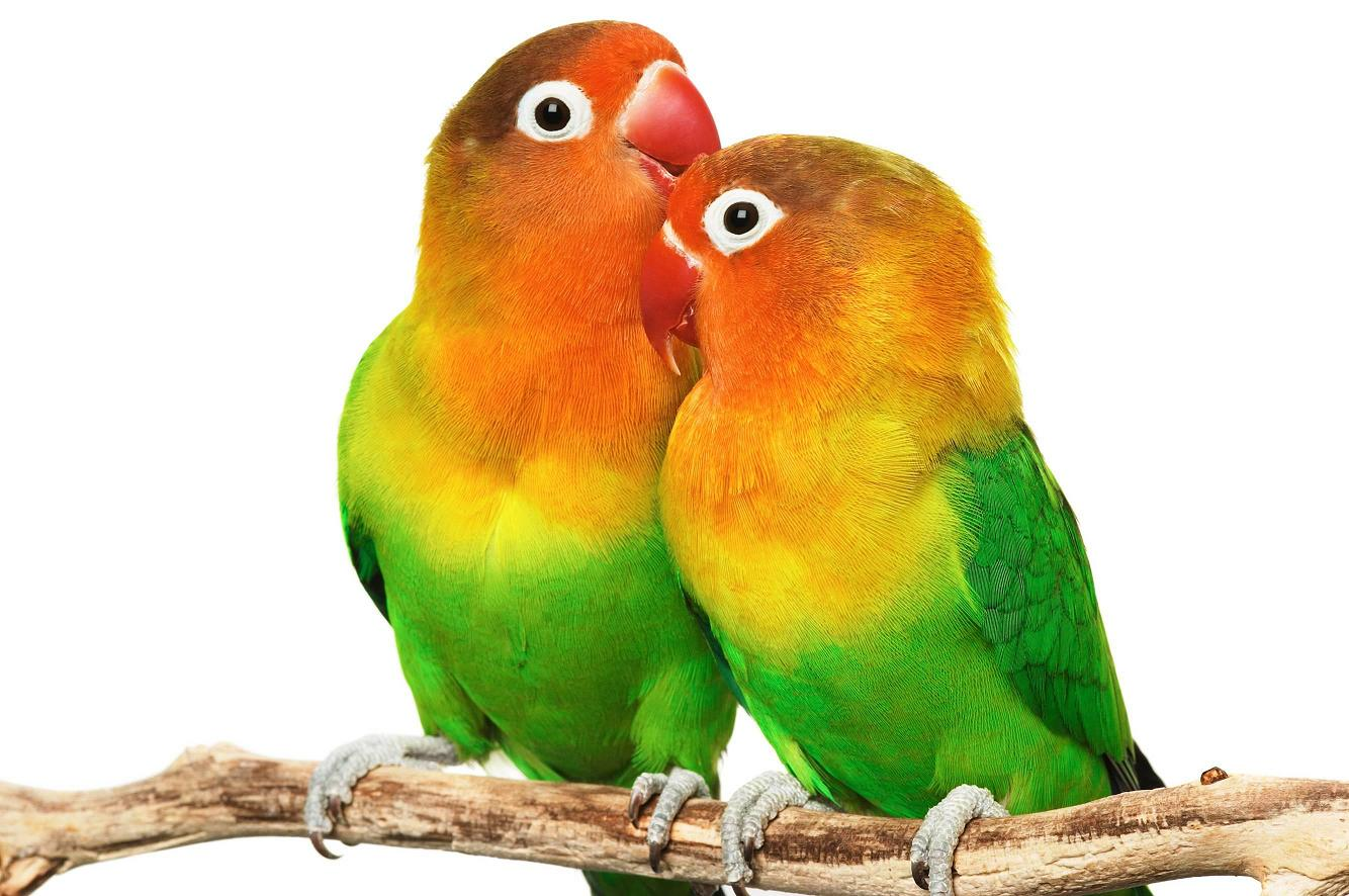 the lovebirds - photo #39