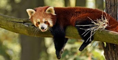 Panda rojo y mamiferos