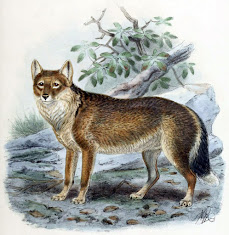 The Falkland Islands Fox