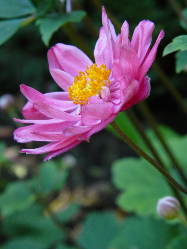 Anemone hupehensis japonica Pamina Japanese anemone by garden muses-not another Toronto gardening blog
