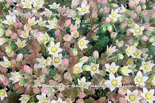 マジョールの花