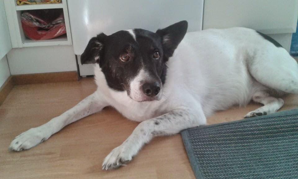 Koira Venäjältä