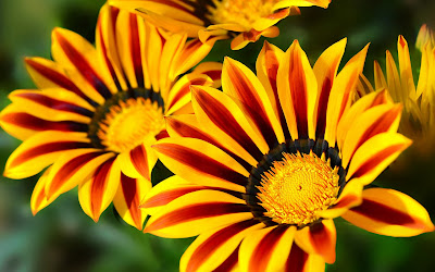 gazania flower widescreen hd wallpaper