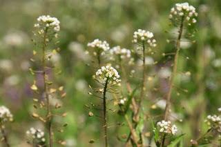 Καψέλλα, - αγριοκαρδαμούδα, - κοντοτσίπα ένα θαυμάσιο μελισσοκομικό φυτό