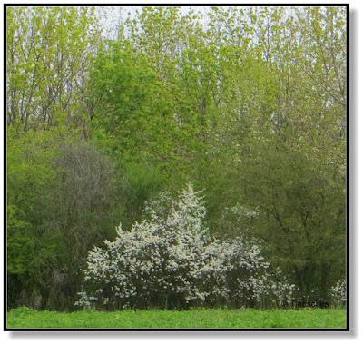 blühende Sträucher im April