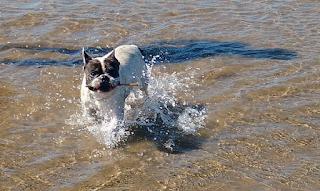 bulldog francçes en la playa