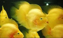 Jenis Ikan Hias Air Tawar  Aquarium Parrot