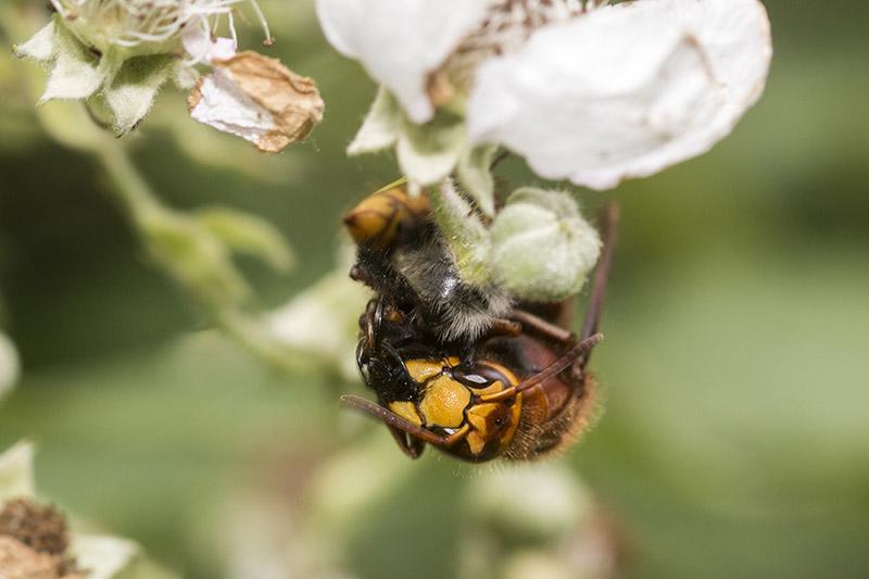 Hornet mid meal