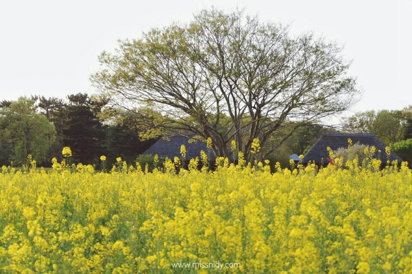 rape blossom in hitachi seaside park japan