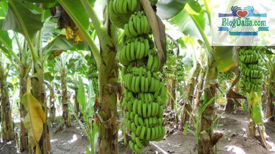 Pisang merupakan tanaman pembawa kekayaan menurut Islam