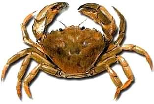 Imagen del cangrejo para niños