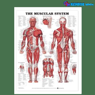 Anatomical Chart Sistem Otot
