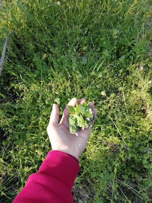 Aprile nell'orto di Elle e Alli: lamio rosso e altre erbe spontanee
