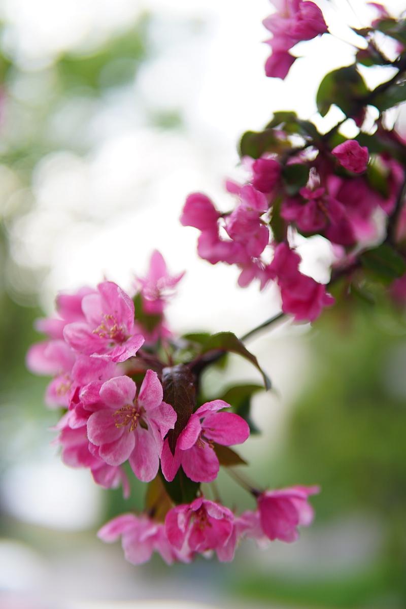 kevätkukat, toukokuu, puutarha, omenapuut
