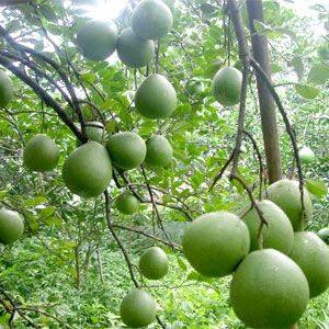 haifa polyqui amino chống rụng trái non