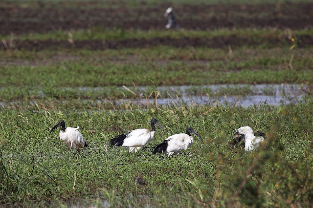 African sacred ibis (Threskiornis aethiopicus)
