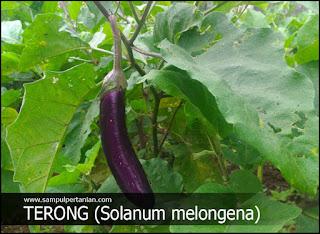 Inilah 9 Hama tanaman Terong yang sangat berbahaya
