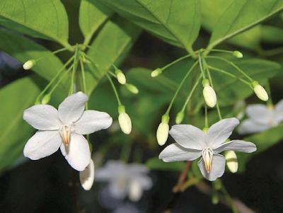 โมกบ้าน (โมกลา) พรรณไม้ดอกหอมพื้นเมืองของไทย ดอกสีขาว กลิ่นหอมแรง