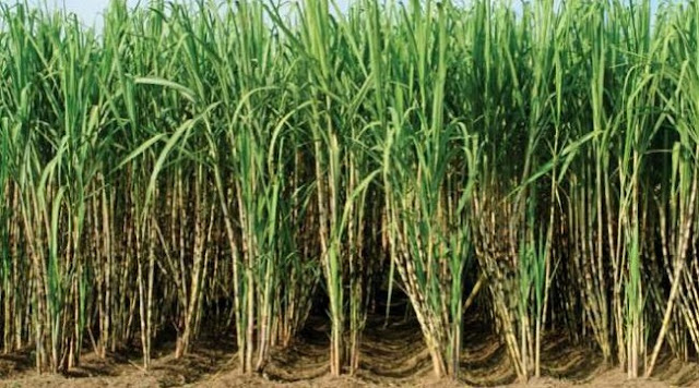 Sugarcane cultivation/Processing Business Plans and Feasibility Report