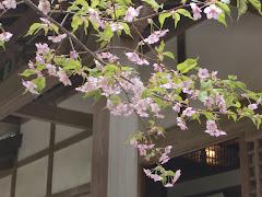 円覚寺桂昌庵のカワヅザクラ